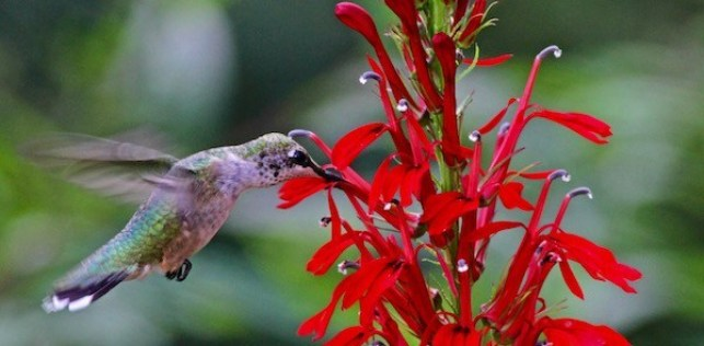 A hummingbird with iridescent green and blue back feathers is feeding on a red cardinal flower which points upwards at an angle.