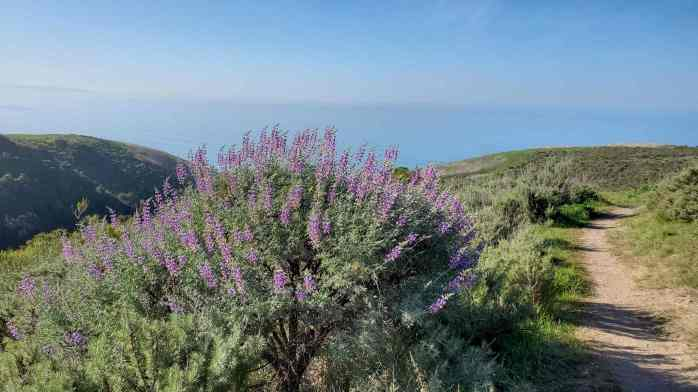 A lupine plant in the shape of a shrub with many purple flowering spikes shooting upwards towards the sky. Rolling hills give way to a blue ocean below a blue sky, the two almost blending together in color.  Many flowers attract hummingbirds.