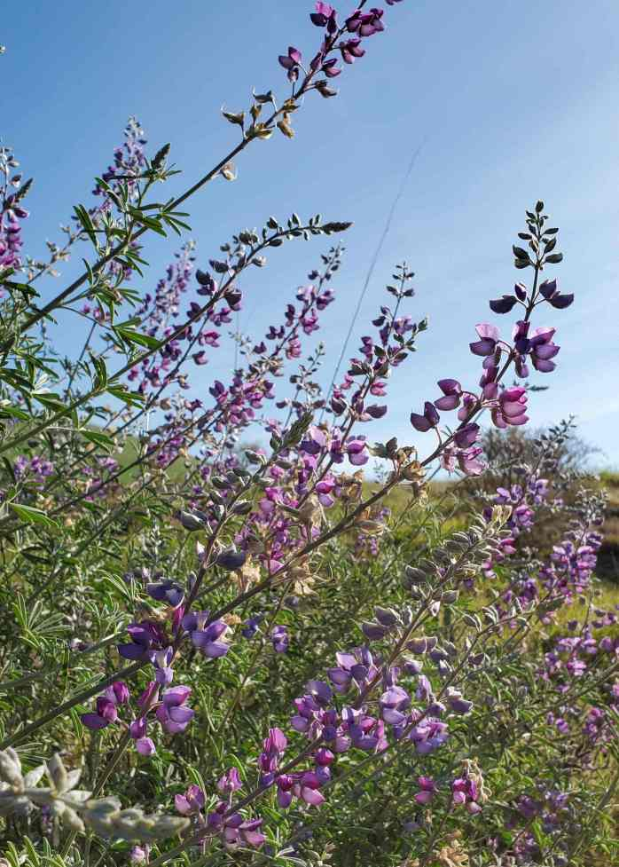 Many flowering spikes of a wild lupine plant stretch across the image. Its long spikes with many lavender colored flowers on full display with a blue sky and rolling hills as the background.