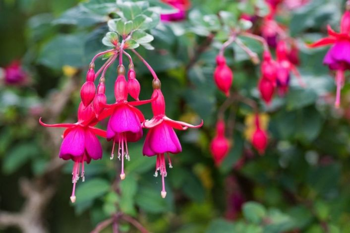 Hanging bright purple pink flowers of the hardy fuchsia plant are shown. Its flowers are open and pointing downwards towards the ground. Many flowers attract hummingbirds.