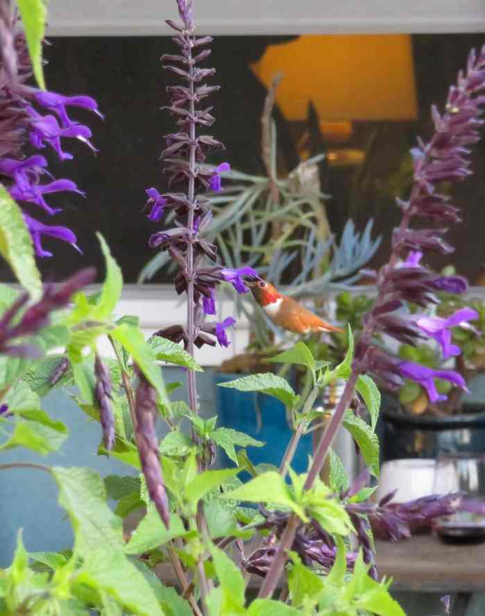 A close up image of a Rufous hummingbird feeding from a black salvia plant, its flowers are a dark, deep purple.