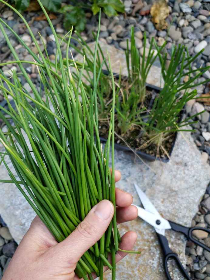 DeannaCat is holding a bunch of the tops of onions seedlings that resemble chives. Below lies a pair of scissors and the trimmed 6 cell pack of trimmed onion seedlings.