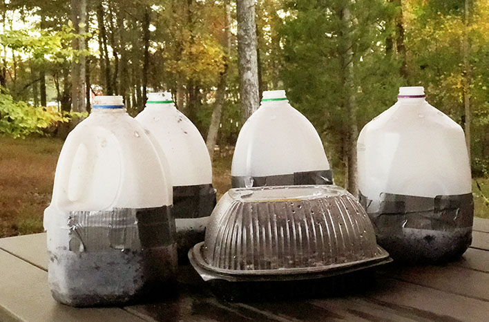 Four plastic milk jugs and a plastic container sit on an outdoor table. The containers are being used to sprout onion seeds for winter sowing. You can grow onions in a variety of ways to work with your climate.