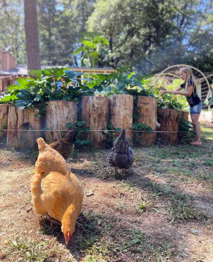 Three chickens are in the foreground with a raised garden constructed with taller rounds of logs. Tall squash plants are poking up out of the top of the raised bed.