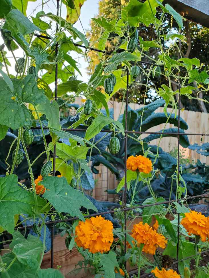 Cucamelon vines and fruit are hanging from a trellis, there are large marigolds growing up and around the cucamelons. Kale is visible just beyond in a separate garden bed.