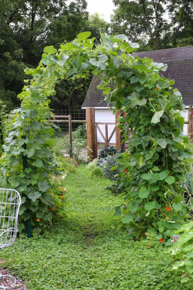 An arched trellis is covered in cucamelon vines along with some low hanging nasturtium vines. The foliage is thick with green plant material and some yellow  blossoms from the fruit are visible.