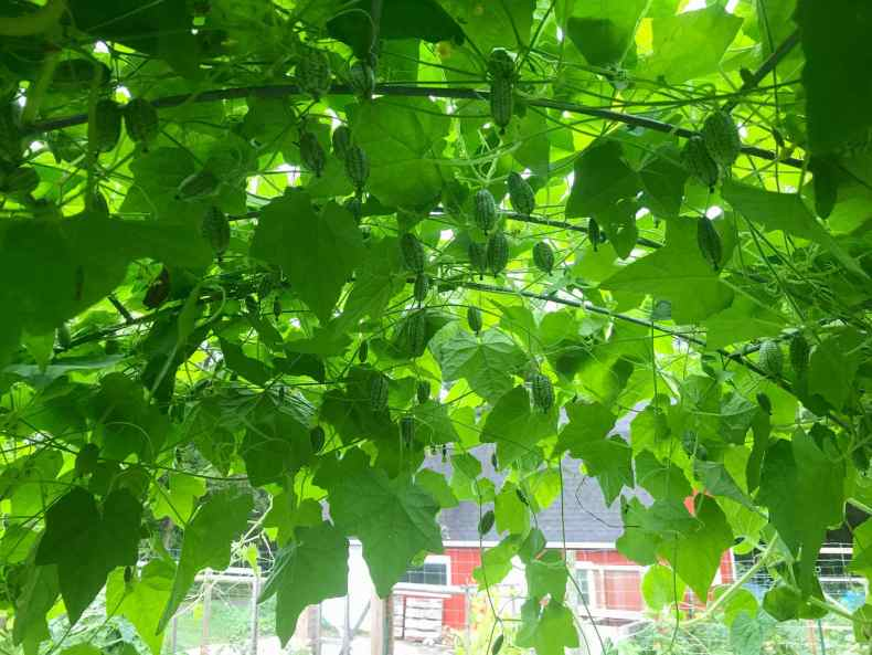 The canopy of many cucamelon vines are shown underneath an arched trellis. Many fruits are hanging downwards from the vines above. It is fairly shaded with vines as only a few spots of light are visible from below. Grow cucamelons on arches for easy harvesting.