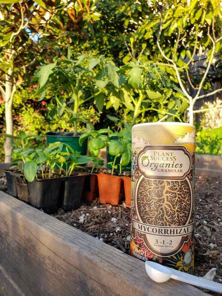 A cylindrical container of Plant Success Organics granular mycorrhizae sit in the foreground on the edge of a garden bed. Beyond lies two 6 cell packs of basil seedlings with two large tomato seedlings towering over them from behind. The backdrop is dense green with salvia, nasturtium, as well as a magnolia tree, a fig tree, and avocado tree.