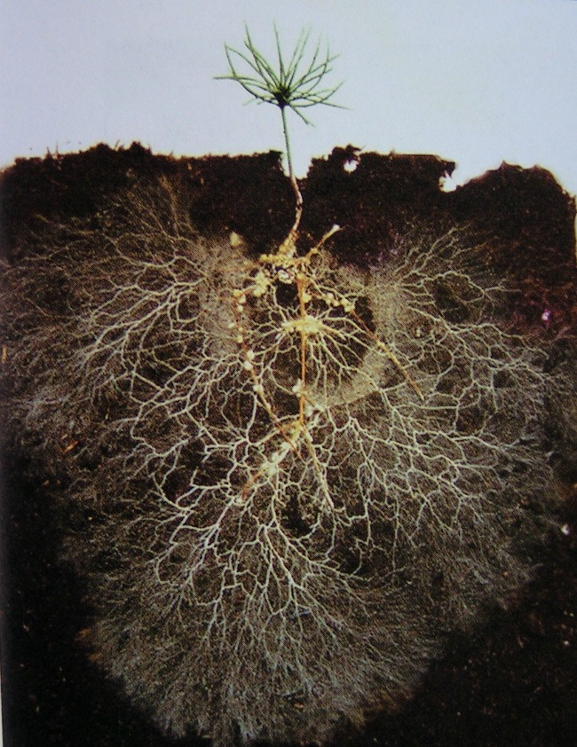 A pine seedling rootball is shown from the soil below. Its rootball is large and expansive, more than 3 or 4 times the height of the seedling itself.