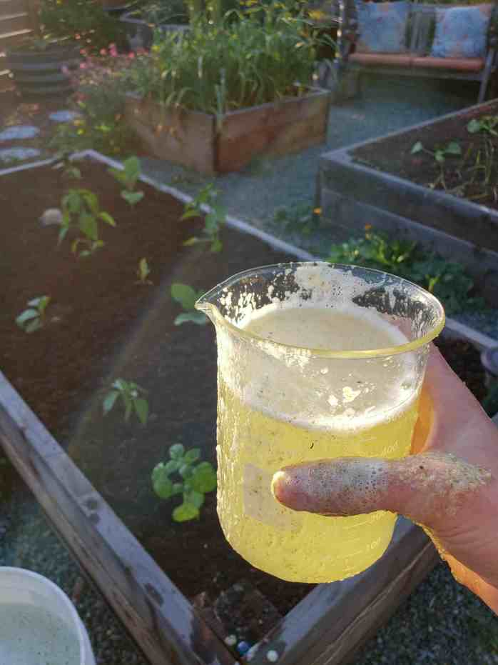 DeannaCat is holding a beak full of fresh aloe vera fertilizer. Its frothy contents are on part of her hand. Beyond lies raised garden beds full of peppers, squash, basil, and garlic.