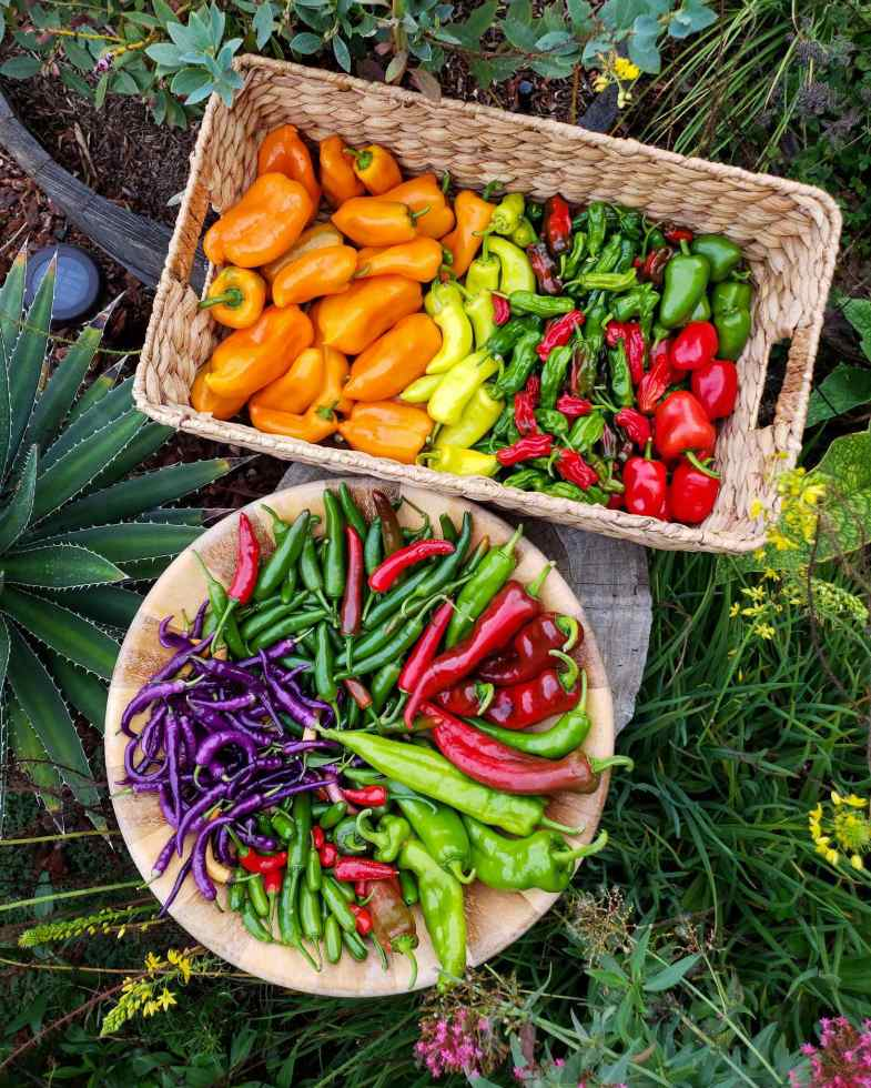 A birds eye view image of a wooden bowl and rectangular wicker basket. The bowl contains long and slender chilis, each separated by its own color and variety. There are dark green, light green, purple, and red chilis arranged in a circular manner. The basket contains orange, yellow, green, and red chilis of various shapes and sizes. There is a large agave that is framing the image on the left while a blueberry bush creeps in from the top, flowering plants with yellow and pink flowers surround the lower portion of the image.