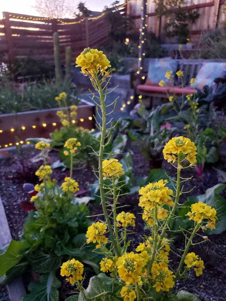Yellow flower tufts on slender green spikes from bolting bok choy plants. Some immature seeds are poking out from the flowering spikes. Chard, and kale are also growing in the raised bed, string lights are strung across a garden bed, fence, and up a tree, illuminating the space along its way.
