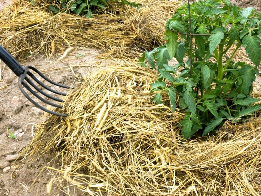 A close up of a pitchfork piling up a thick layer of yellow straw mulch around the base of two medium size tomato plants, about 2 feet tall and bushy.