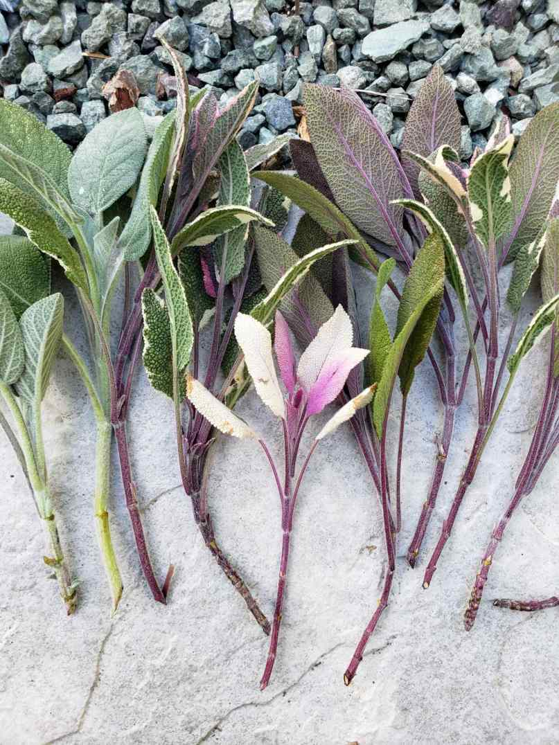 Purple, green, and variegated sage cuttings are shown in a spread out bundle after just being cut. Their stems are bare of foliage towards the lower two-thirds.