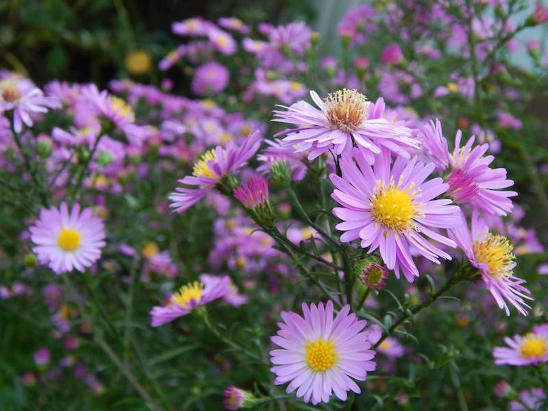 Aster flowers with purple petals and egg yolk gold centers sit atop tall green spikes of foliage. Their bloom times line up just in time for great fall flowers.