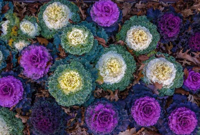 Frilly round plants that range in color from green to white to yellow and purple. Each of the plants have at least two colors, the center of the plants being a different color than the outer leaves.