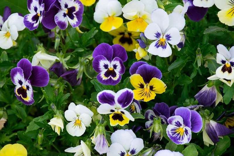 A close up of many viola blooms, a combination of purple yellow, and white make up the colors of just one flower. Each of them have varying colors on each part of their flower.