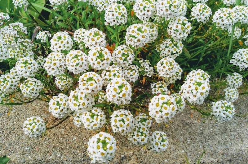 White flowers with yellow centers make up round spheres as many flowers make up each ball making them resemble the shape of a sphere. Sweet Alyssum prefer cooler weather which makes them great for fall flowers.