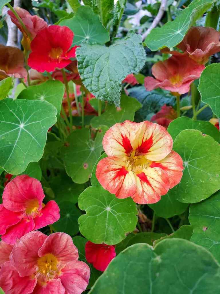 A close up of pink nasturtium flowers amongst many green round to oblong green leaves. Nasturtiums self seed readily which makes them great fall flowers.