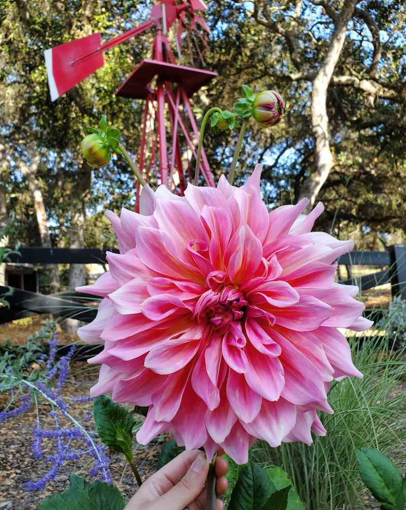 DeannaCat is holding the stalk of a large pink dinner plate dahlia bloom. Its many layers of pink petals make for a breathtaking flower. Purple flowers, and green grasses make up the background among bark mulch.