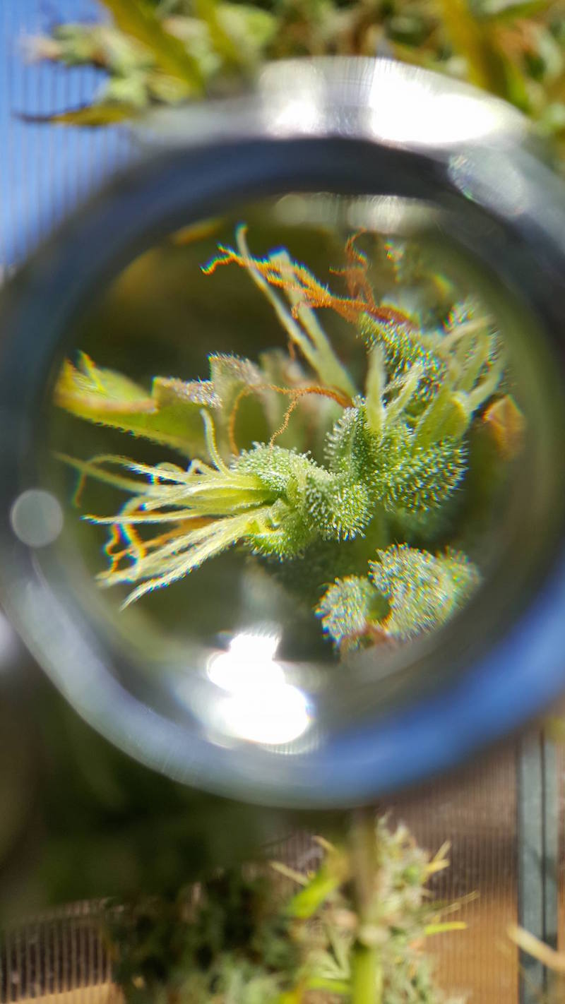 An image taken through a jewelers loupe of a cannabis bud. The plants pistils and trichomes are illuminated in the magnification and natural sunlight.