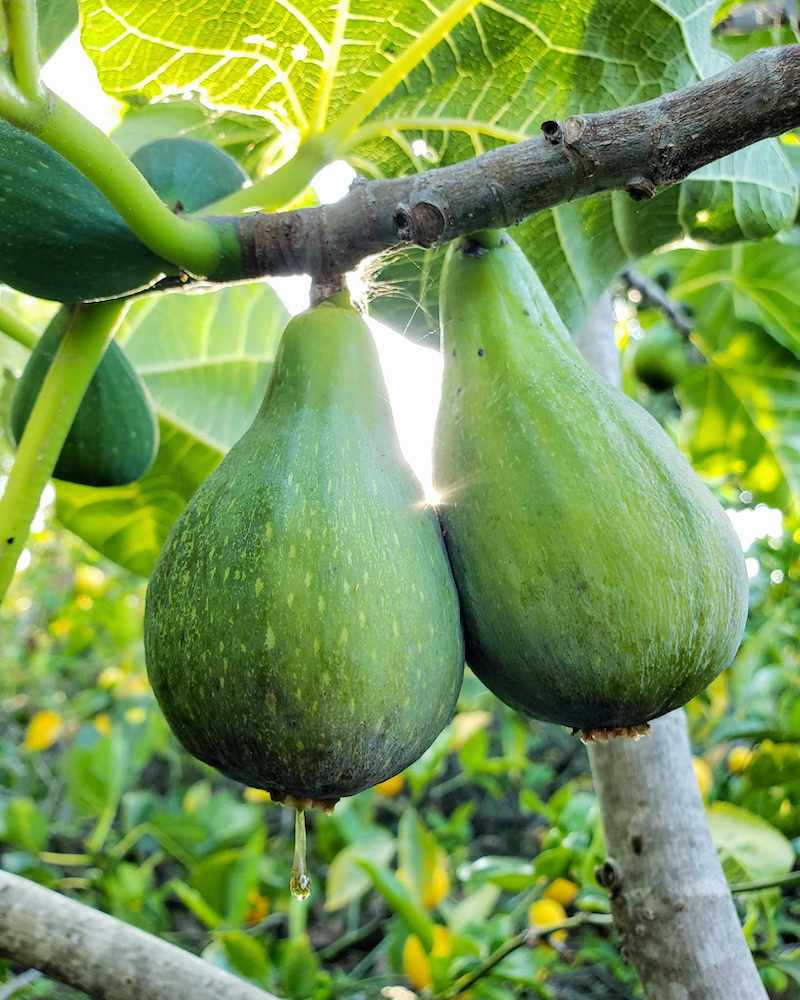 Two ripening green figs hanging from a branch. One of the figs has a sugary sap substance hanging from the bottom of it, revealing the sugary sweetness within. Beyond, the sun is filtering in between the figs and surrounding leaves.