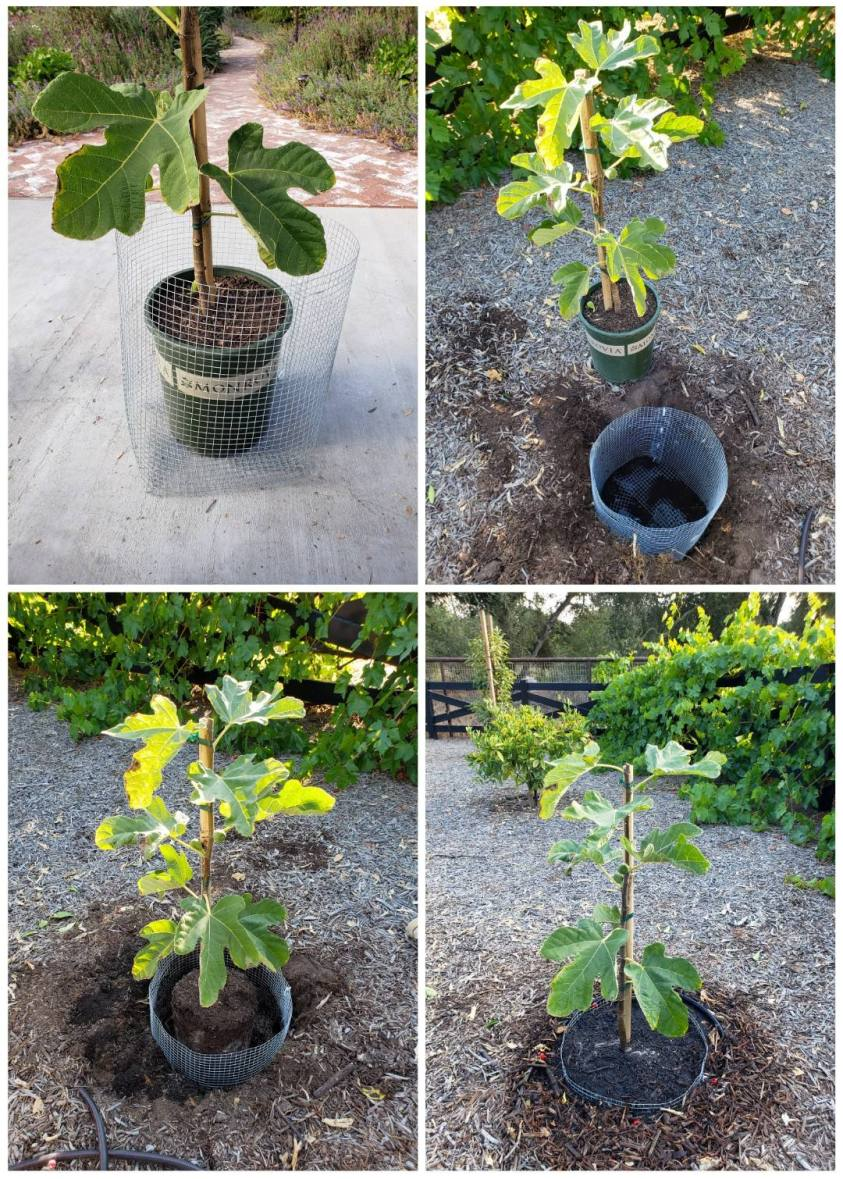 A four way image collage of planting a fig tree, the first image shows a young fig tree in a 5 gallon nursery pot sitting inside of a homemade gopher basket, the second image shows the gopher basket sitting inside a hole in the ground with the fig tree sitting next to it, the third image shows the fig tree sitting inside of the hole and gopher basket, the fourth image shows the tree after is has been buried with native soil, compost, and potting soil. If you have gophers, grow fig trees and plant them in a gopher basket to protect their roots from damage.