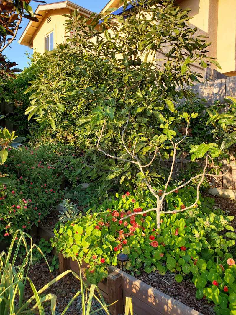 A fig tree growing in the border of a garden under the canopy of an avocado tree. Nasturtium is growing around the base of the fig tree, covering its lower trunk from view. Grow fig trees and keep them pruned to take up less space.