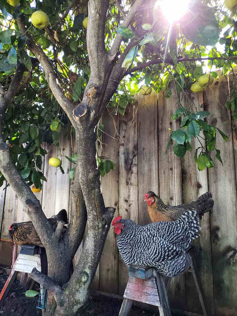 Two saw horses are positioned below a grapefruit tree. Two chickens are roosting on one of them in the shade while a lone chicken is roosting on the other.