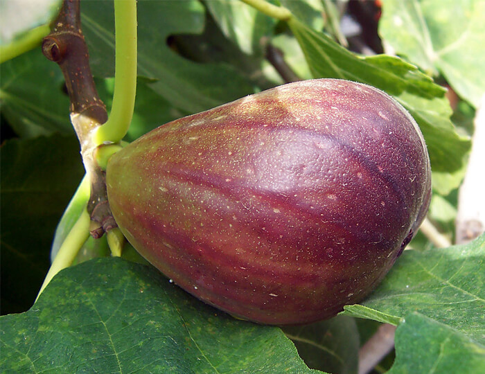 A large bronze to purple fruit is attached to a branch with leaves surrounding the fruit. Choose fig varieties such as this for those in cooler weather.