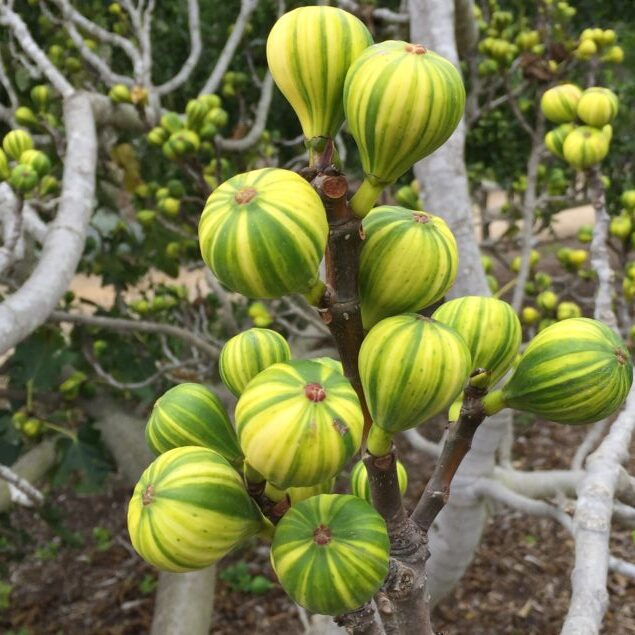 Many green and yellow striped figs sit atop fig branches that are mostly devoid of leaves. They resemble mini hot air balloons, shooting upwards towards the sky. Some fig varieties are incredibly vibrant in color but the Tiger Stripe are the most striking.