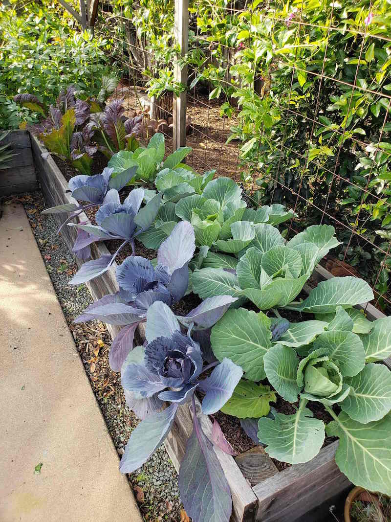 Raised garden beds are shown, the bed in the foreground has red cabbage planted in the front and green cabbage planted in the back. While the beds further away are full of red giant mustard greens and fava beans.