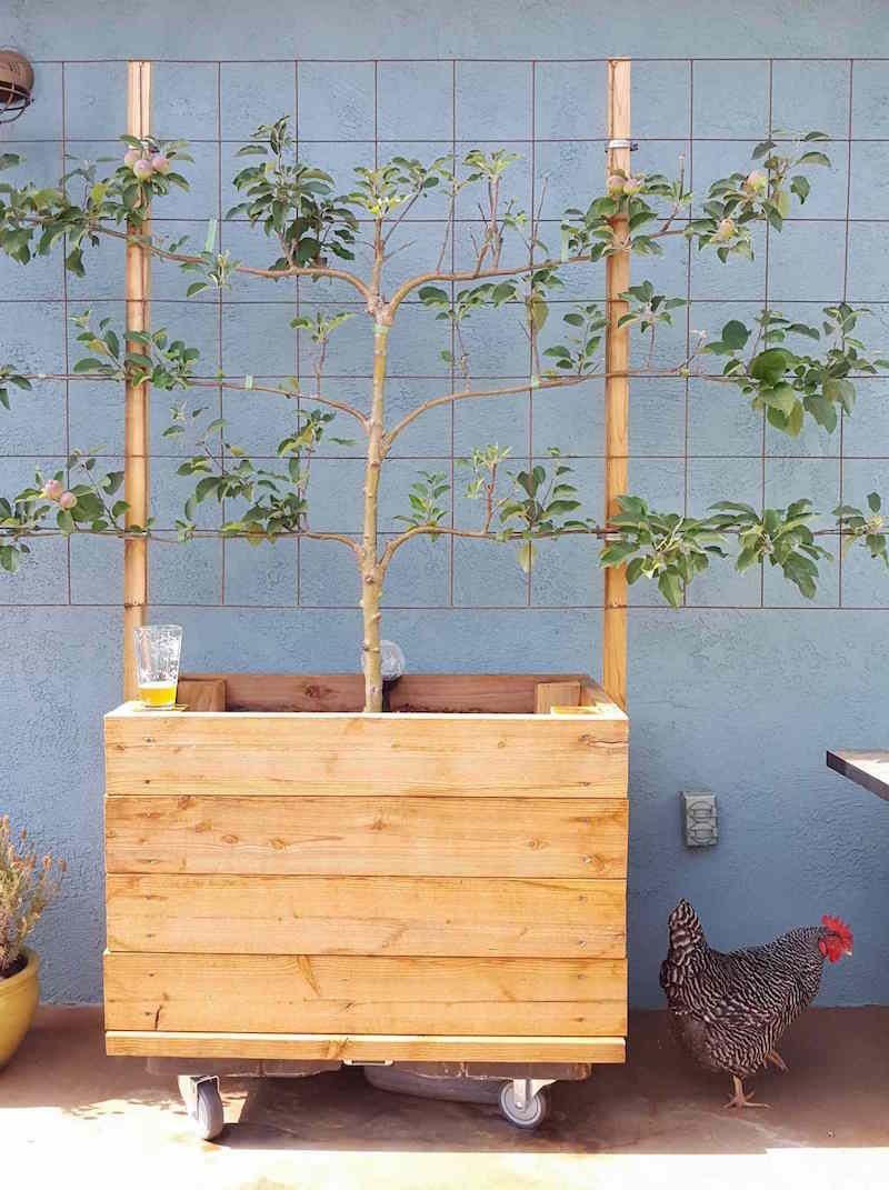 An espaliered apple tree in a 3x2 foot planter box on concrete. There is pint glass of a beverage on the corner of the bed that  only has about 1/4 left and a chicken flanks the other side on the ground.