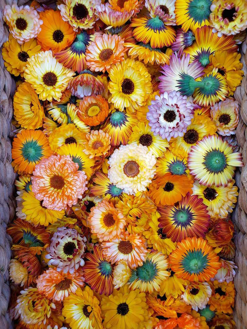 A close up of many calendula flowers inside a wicker basket. They are of various colors from pink to orange to yellow and all the shades between. Some of the underside portion of the flowers are showing which illustrate the green cup portion of the flower which connects to the stem of the plant.