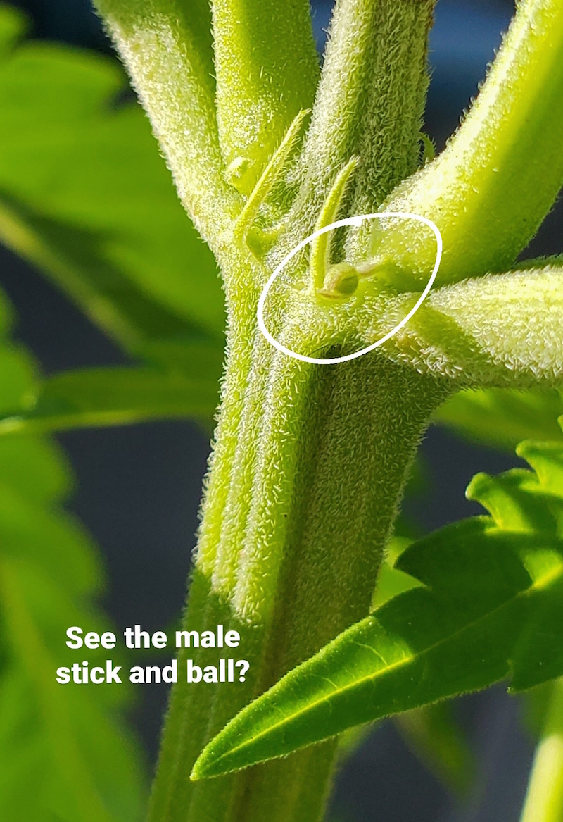 """A close up image of a male preflower that resembles a ball on the end of a stick. The preflower is circled I. white and the bottom of the image has text that reads, """"See the male stick and ball?"""""""