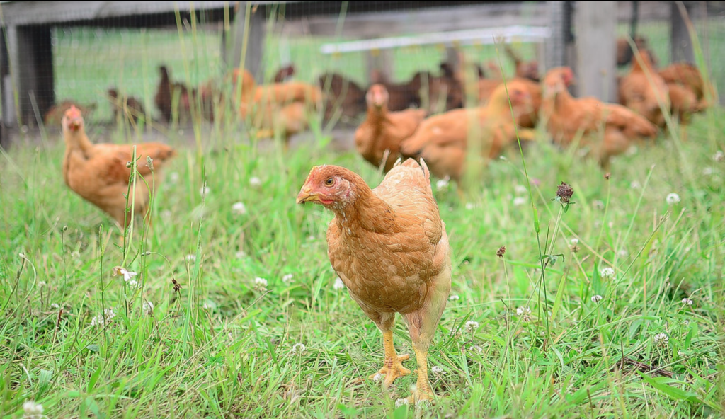 Meat Chicken Breeds: Young Freedom Ranger Broiler