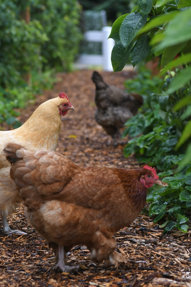 Free-Ranging Chickens in the Garden