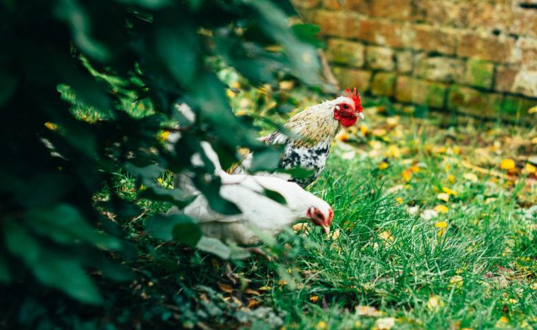 Free-Ranging Chickens in the Backyard