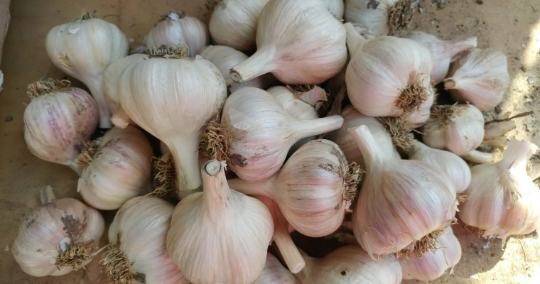 How to Grow a Year-Round Supply of Garlic