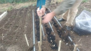 planting garlic in rows