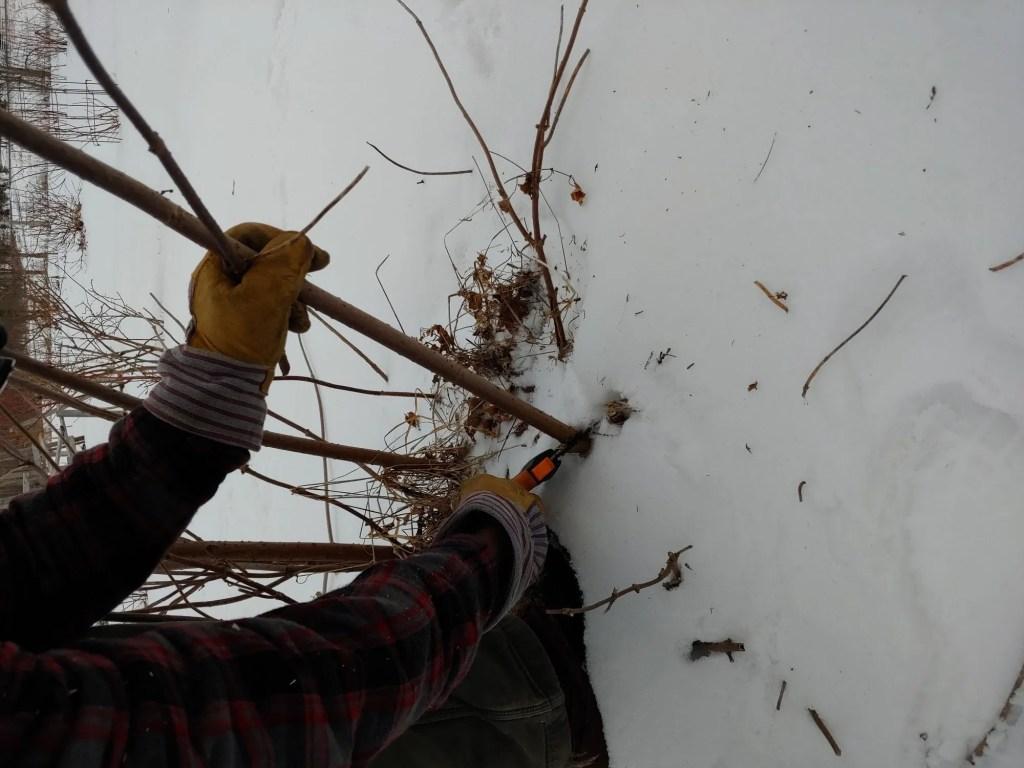 Cutting elderberry shoots to propagate