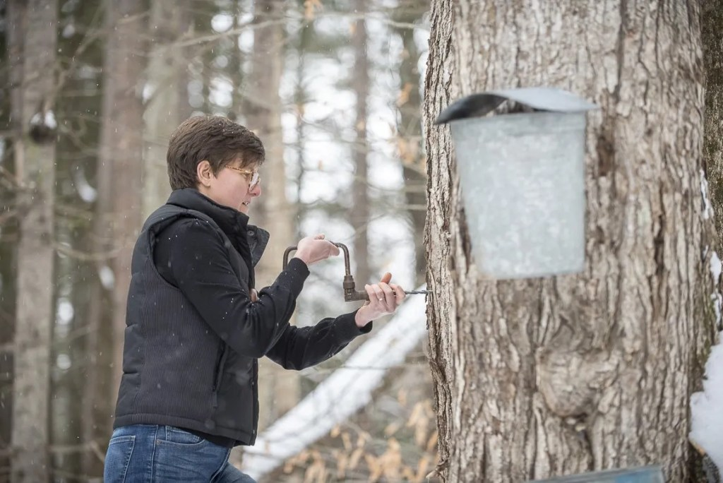 Tapping a Maple Tree for Syrup