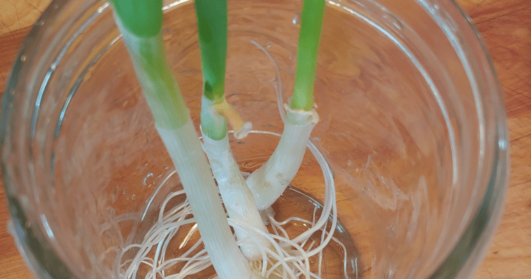How to Re-Grow Scallions from Roots