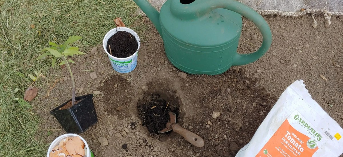 How to Plant a Tomato Seedling