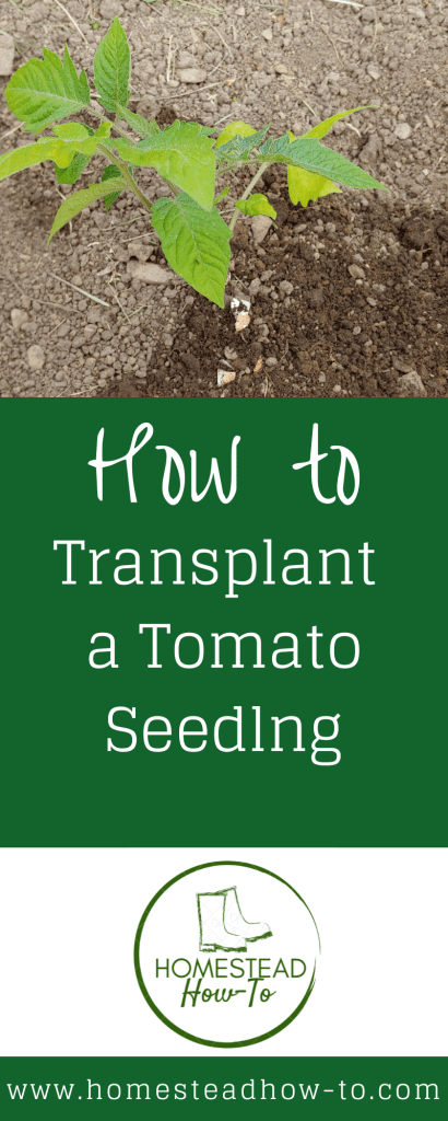 how to transplant a tomato seedling PIN