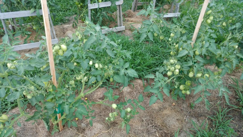 wooden tomato stakes with tomato plants on them