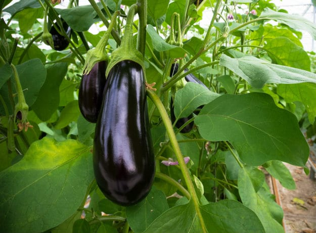 Companion Plants For Your Survival Garden eggplant