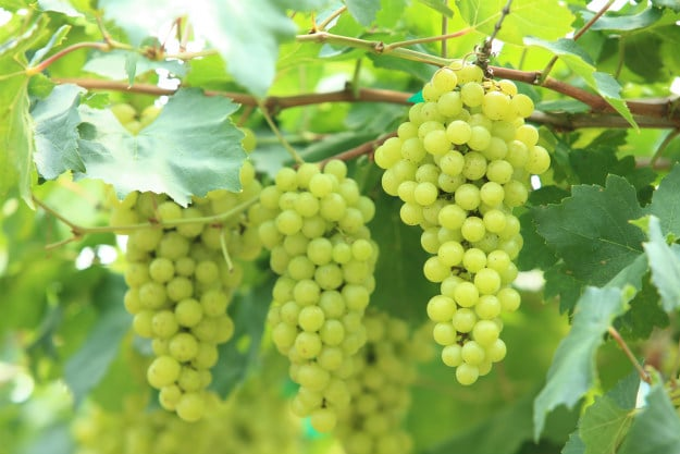 Companion Plants For Your Survival Garden grapes