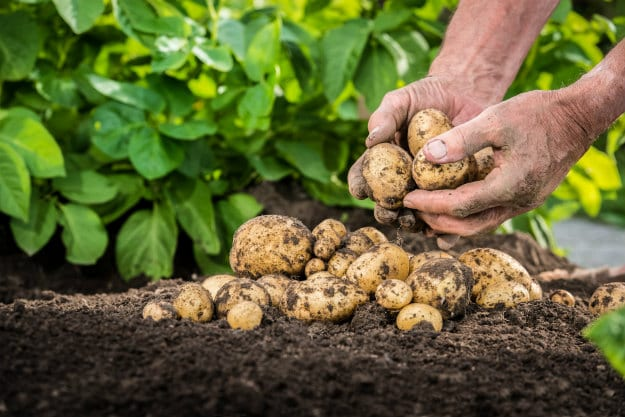 Companion Plants For Your Survival Garden potatoes
