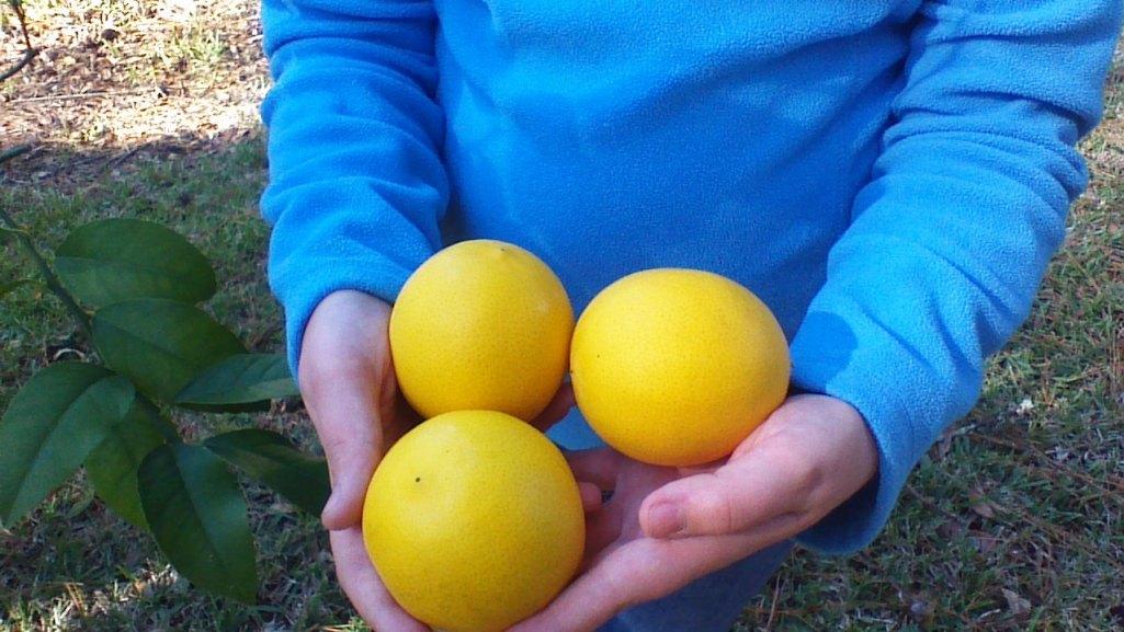 meyer lemon 3